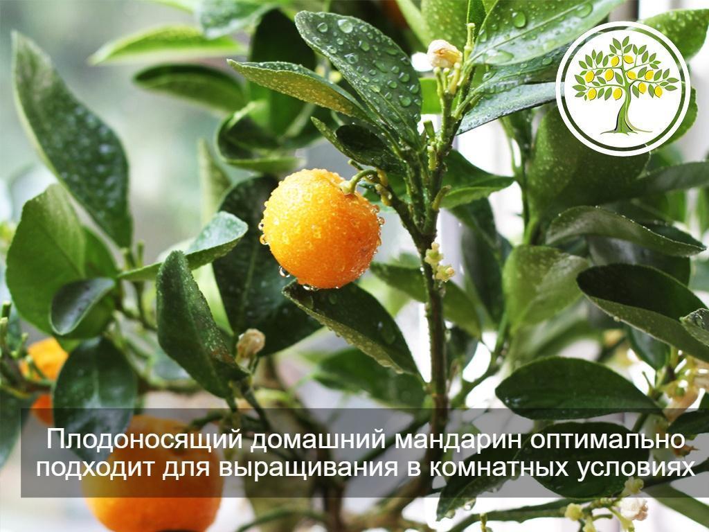 фото мандариновое дерево
