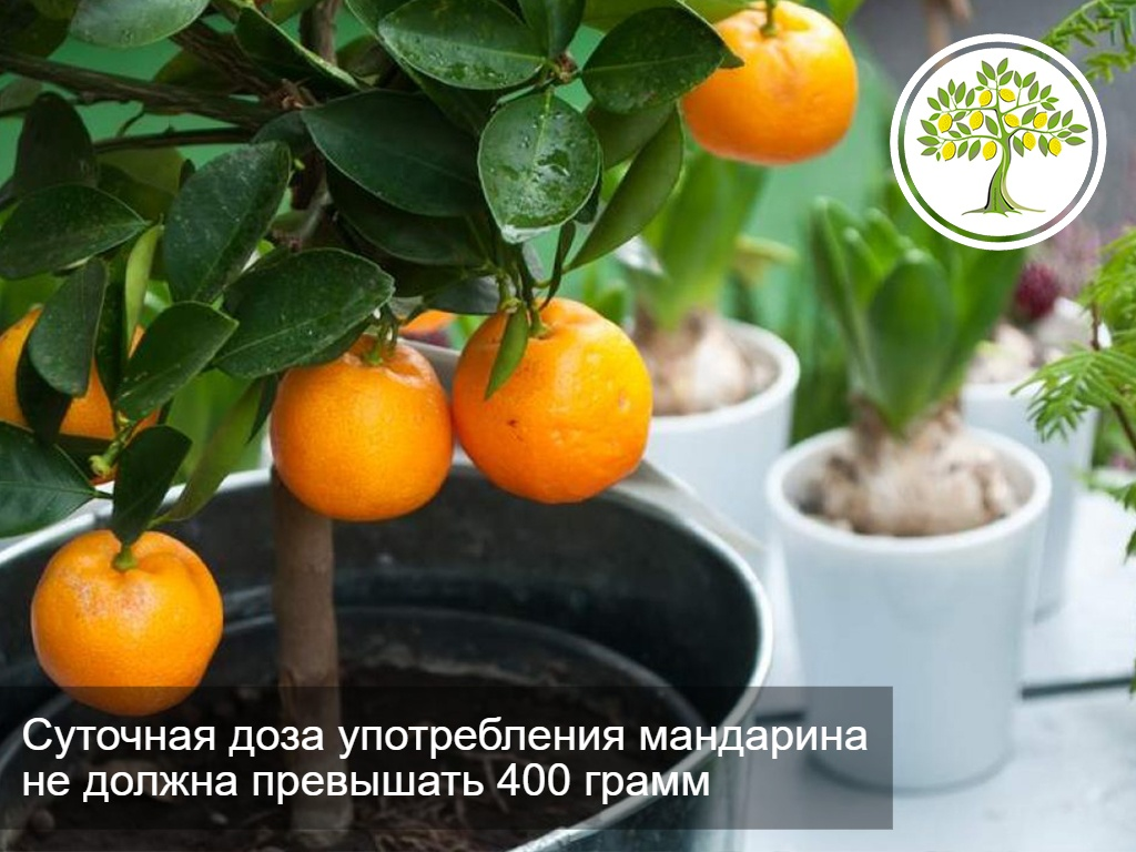 фото мандарины на дереве