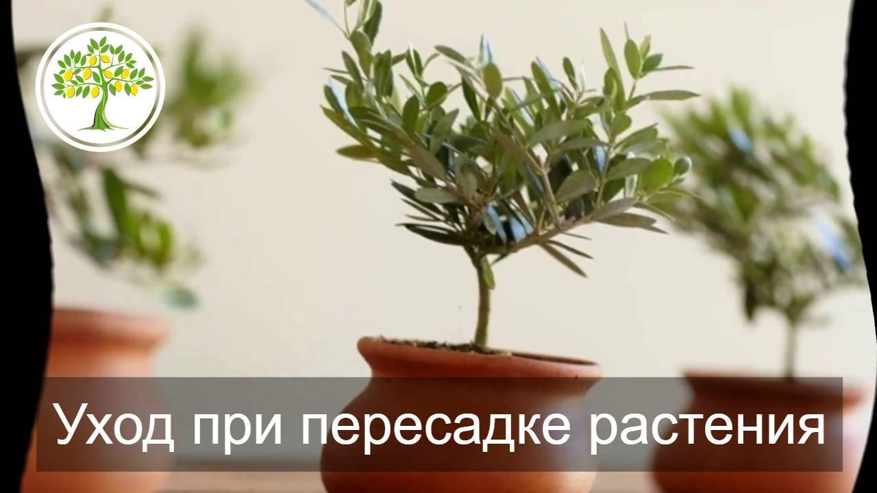 ухода при пересадке растения