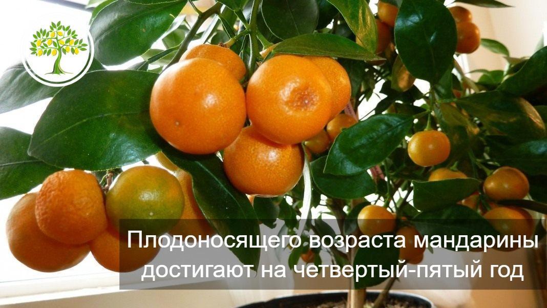 Плодоносящий мандарин картинка