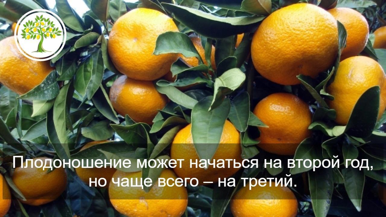 картинка плоды мандарина