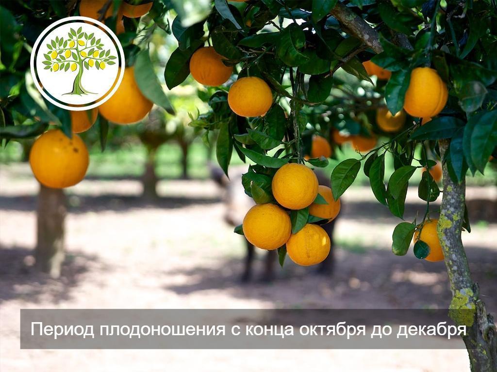 фото Плоды апельсина