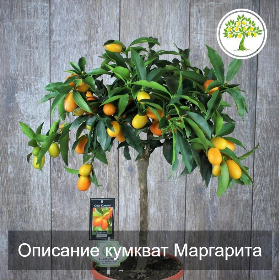 дерево кумкват Маргарита