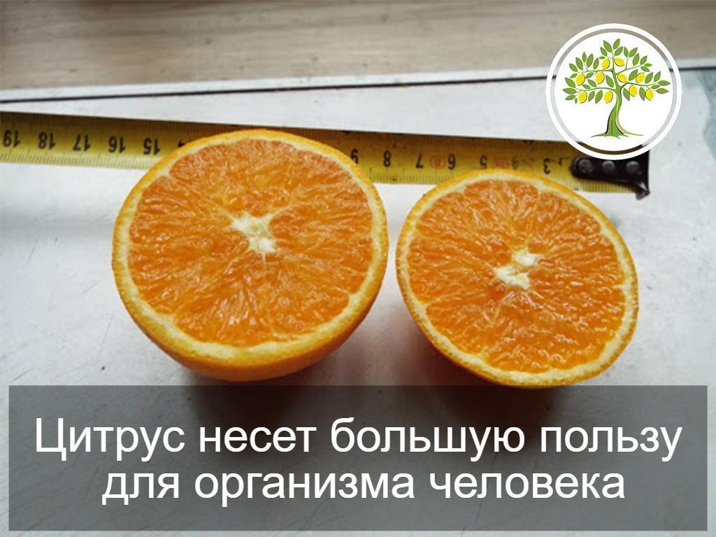 цитрус плод