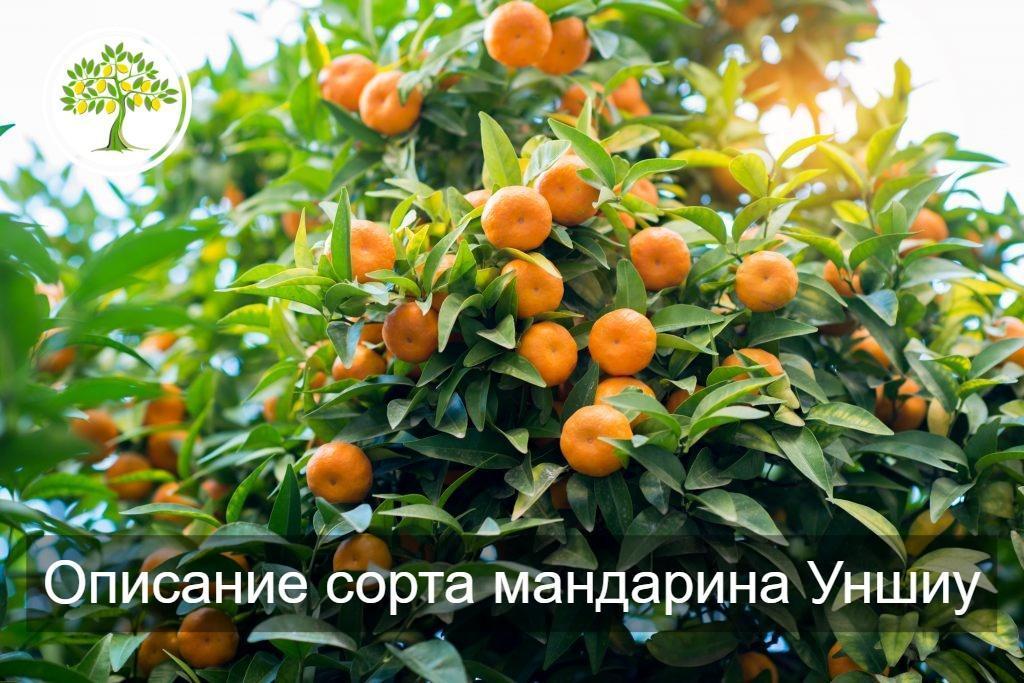 картинка цитрусовое дерево