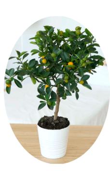 Мандарин Уншиу растение купить