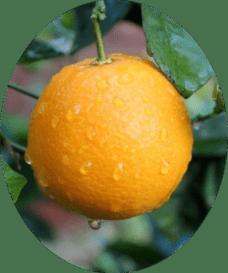 Апельсин Вашингтон Навел 3 года