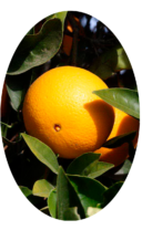 Плод Вашингтон Навел