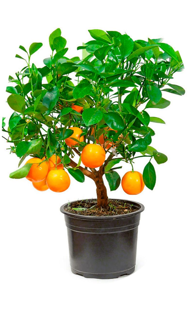 Апельсин Вашингтон Навел купить
