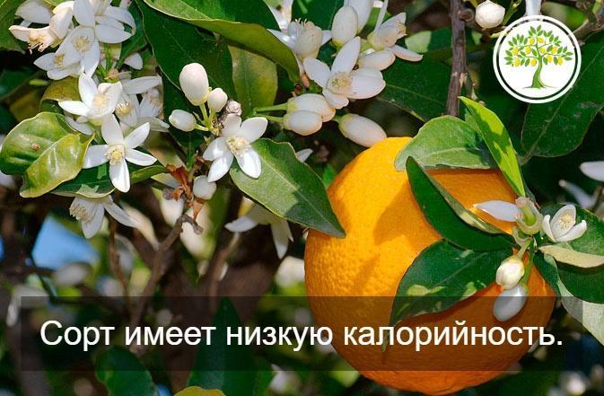 апельсиновый плод