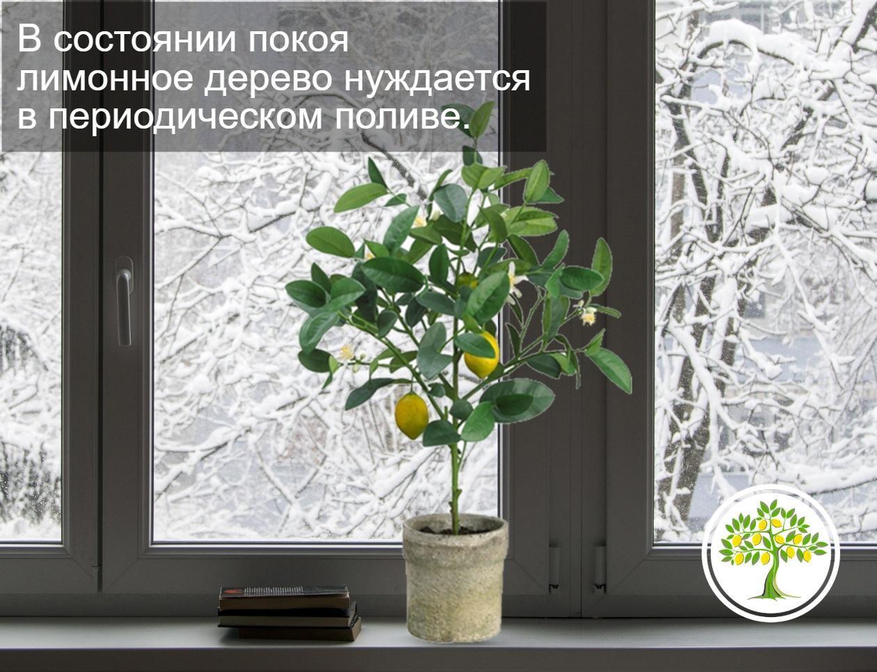 картинка Зимовка лимона