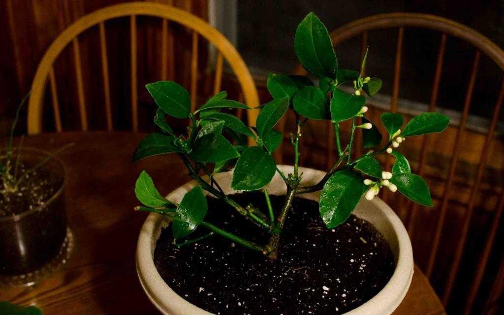 Мокрый лимон растение