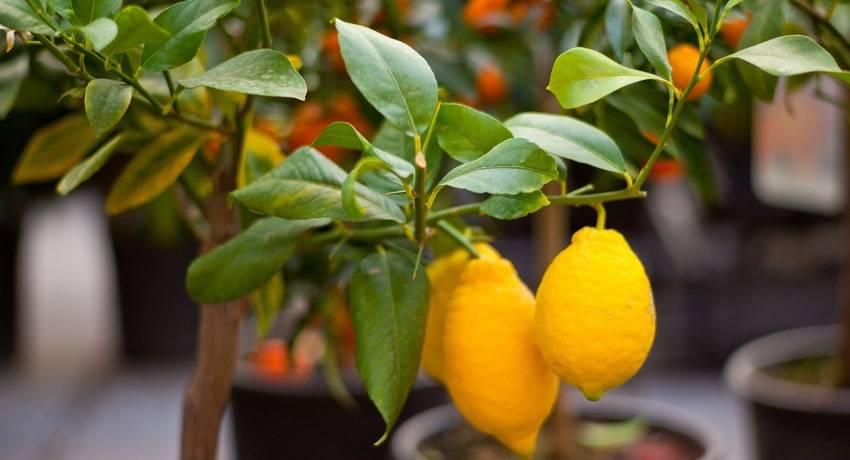 лимоны и скрученные листья