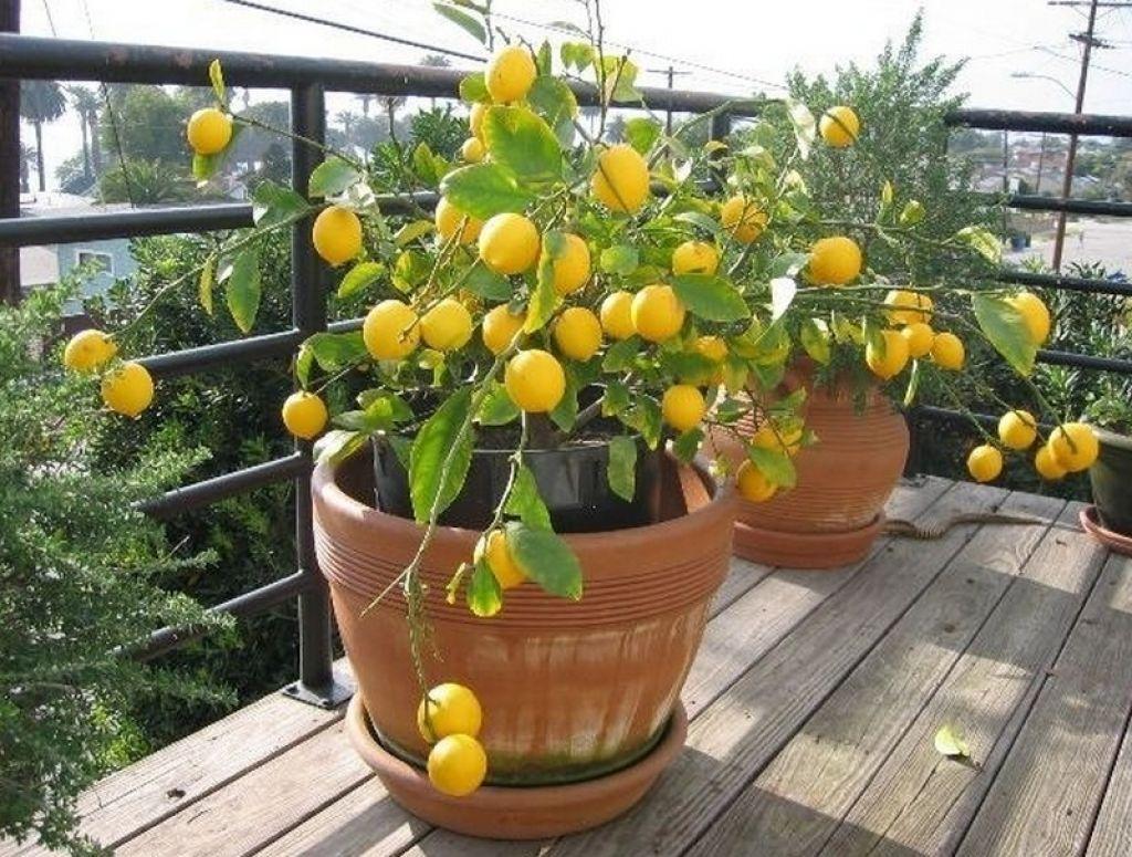 лимонное дерево от вирусов