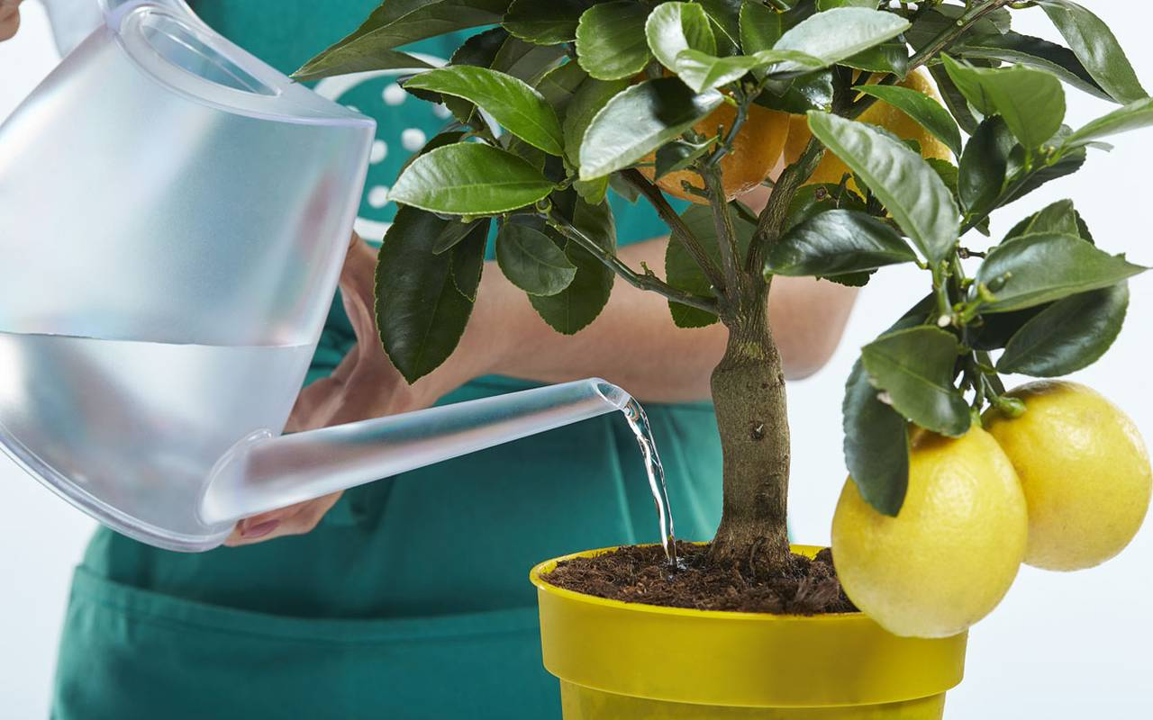 Лимон и лейка с водой