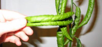 листья лимона скручены